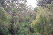 Picture of the Karri Forest in Pemberton Western Australia.