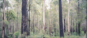 Pictures of the Karri Forest in Western Australia.