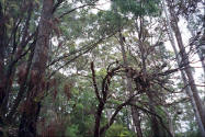 Photos of trees in the karri forrest in Pemberton Western Australia.