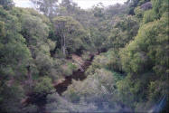 Scene of Brook in the forest in Western Australia - Karri trees.